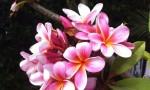 Plumeria Aroma